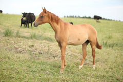 Young chestnut horse on pasturage Stock Images
