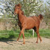 Young chestnut horse running in spring Stock Photography