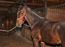 Young chestnut horse in the stable Stock Image