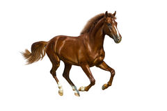 Young chestnut horse. A young stallion who runs in gallop Stock Image