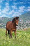 Young chestnut horse standing. On spring alpine meadow in the morning Royalty Free Stock Photography