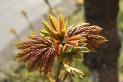 It`s spring. young chestnut leaves. The young chestnut leaves red-green. It`s spring. young chestnut leaves stock images
