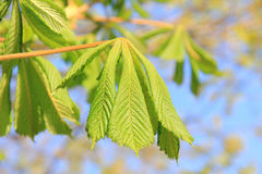 Young chestnut leaves, sprouting at springtime Royalty Free Stock Images