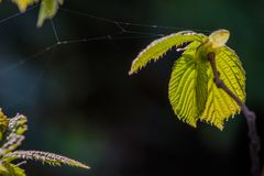 Spring sunlight shining through a fresh chestnut leave stock images