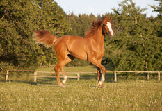 Young chestnut mare on pasture Royalty Free Stock Photography