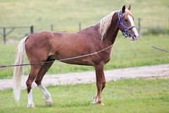 Young chestnut stallion breed Orlov Trotter Royalty Free Stock Photography