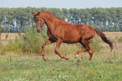 A young chestnut stallion galloping Stock Photos