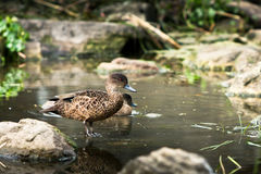 Young Chestnut Teal duck in pond Royalty Free Stock Images