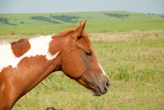 Young chestnut and white paint horse Royalty Free Stock Photo