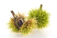 Young chestnuts. Stock Images