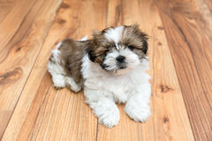 Young Chi Chu dog lying on parquet floor. Young Chi Chu puppy lying on parquet flooring Royalty Free Stock Photo