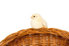 Young chick Royalty Free Stock Photography
