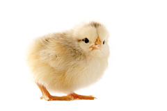 Young chick Royalty Free Stock Images