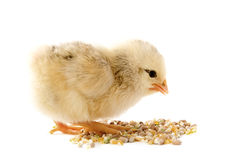 Young chick Stock Image