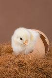 Young chick. An one day old chick placed in the egg shell, where it hatched before Royalty Free Stock Photos