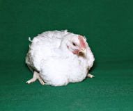 Young chick broiler Royalty Free Stock Photo