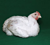 Young chick broiler Royalty Free Stock Photos