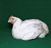 Young chick broiler Royalty Free Stock Photography