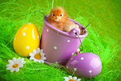 Young Chick in Bucket Royalty Free Stock Photos