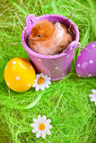 Young Chick in Bucket Stock Photo