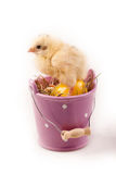 Young Chick in Bucket Stock Images