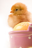 Young Chick on Bucket Royalty Free Stock Photography