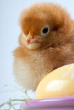 Young Chick on Bucket Royalty Free Stock Photos