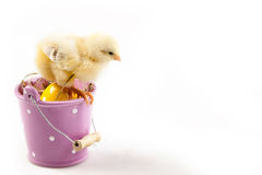 Young Chick on Bucket Royalty Free Stock Images