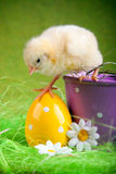 Young Chick in bucket Royalty Free Stock Photography