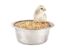 Young chick and cereals Stock Image