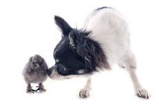 Young chick and chihuahua Stock Image