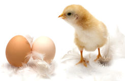 Young chick - easter concept Stock Image