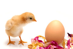 Young chick - easter concept Royalty Free Stock Images