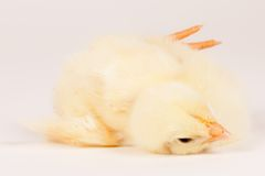 Young chick - easter concept Stock Photos