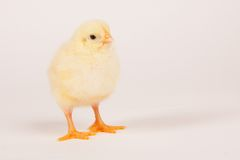 Young chick - easter concept Stock Photography