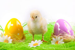 Young Chick and Eggs Royalty Free Stock Images