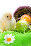 Young Chick and Eggs Royalty Free Stock Photo