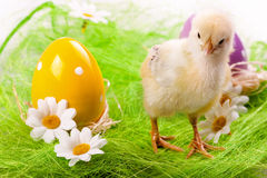 Young Chick and Eggs Stock Images
