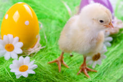Young Chick and Eggs Royalty Free Stock Image
