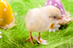 Young Chick and Eggs Royalty Free Stock Photos