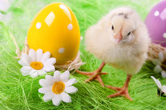 Young Chick and Eggs Stock Photo