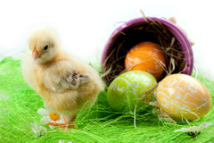 Young Chick and Eggs Stock Photos