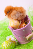 Young Chick and Eggs in bucket Stock Photo
