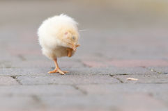 Young Chick in the garden Royalty Free Stock Photos