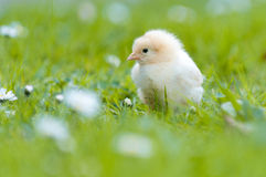 Young Chick in the garden Royalty Free Stock Images
