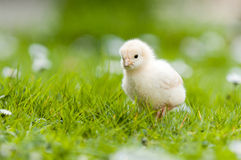 Young Chick in the garden Royalty Free Stock Photography