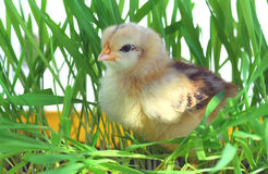 Young chick on green grass Stock Photos