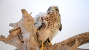 Young chick hawk sitting stock video