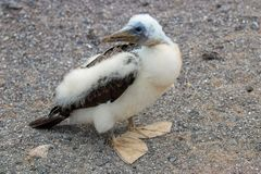 Young chick Masked Black and White Booby close up stock photo