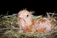 Young chick in nest. Newborn chick still wet after being hatched Stock Photography